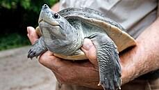 Rarita v Zoo Praha. Vzácná asijská želva má dramatickou historii a při páření mění barvu