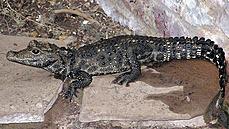 Metrový krokodýl z Ostravy se našel, moc daleko se nedostal. Podezřelé okolnosti jeho útěku prošetří policie