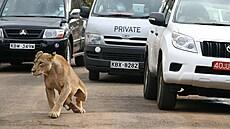 'Hrozná panika.' Lev na úniku pozastavil život v Nairobi, lidé přišli pozdě do práce