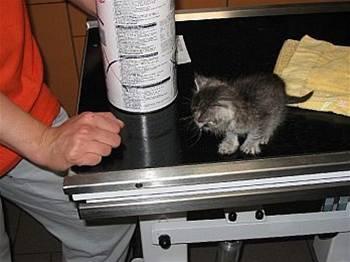 Mladá eben kočička