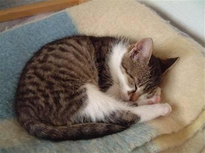 velké tuk vyholené kočička fotky
