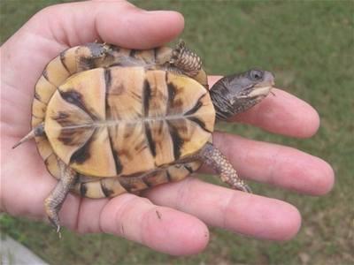 Želva muž svobodný